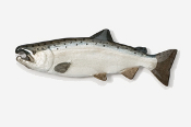 #135P - Male Coho / Silver Salmon Hand Painted Pin