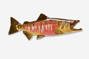 #137P - Chum / Dog Salmon Hand Painted Pin