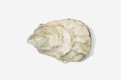 #544P - Oyster Hand Painted Pin