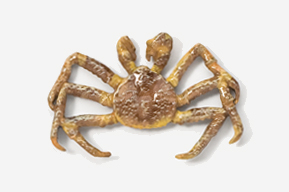 #531BP-L - Live King Crab Hand Painted Pin